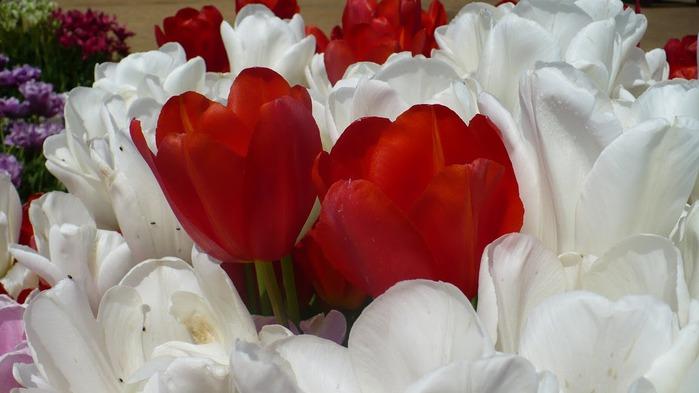 симфония тюльпанов 99857