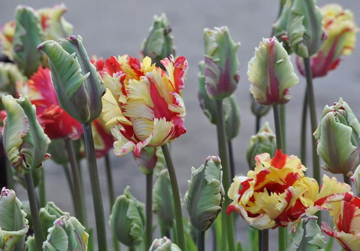 симфония тюльпанов 81980