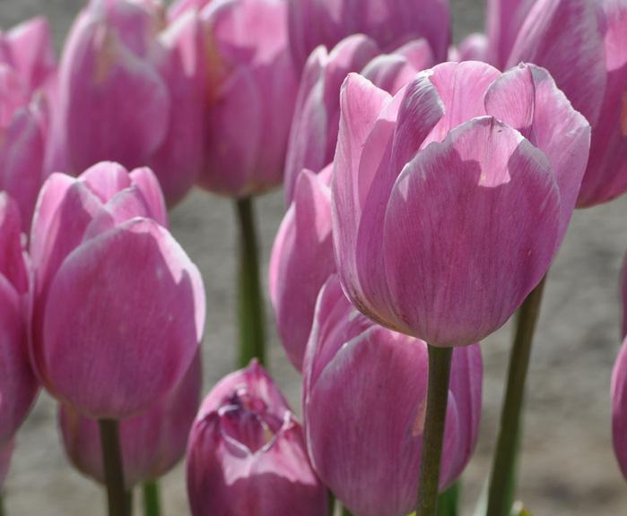 симфония тюльпанов 80518