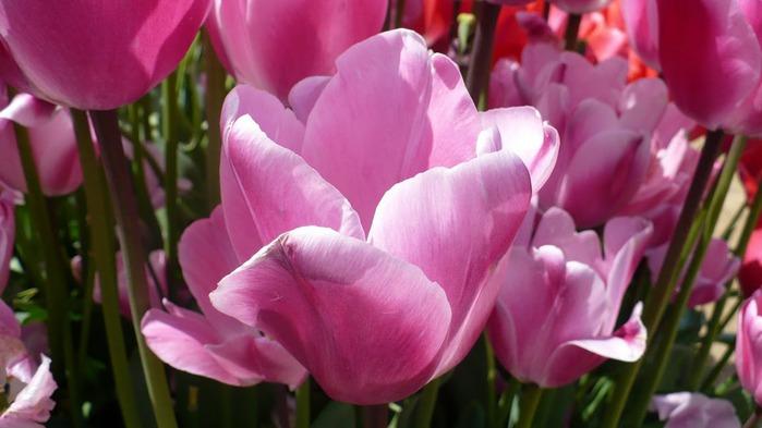 симфония тюльпанов 13994