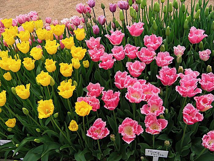 симфония тюльпанов 94869