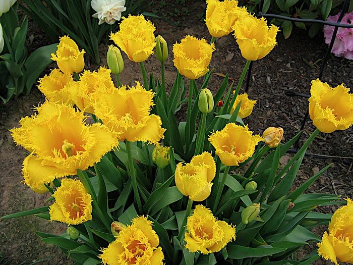 симфония тюльпанов 19685