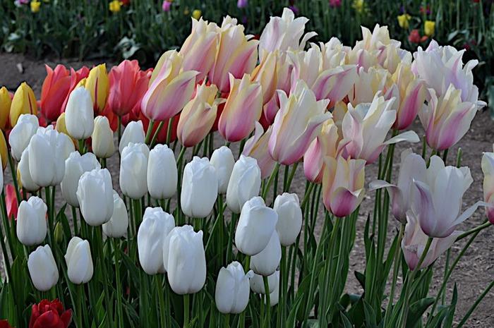 симфония тюльпанов 85226