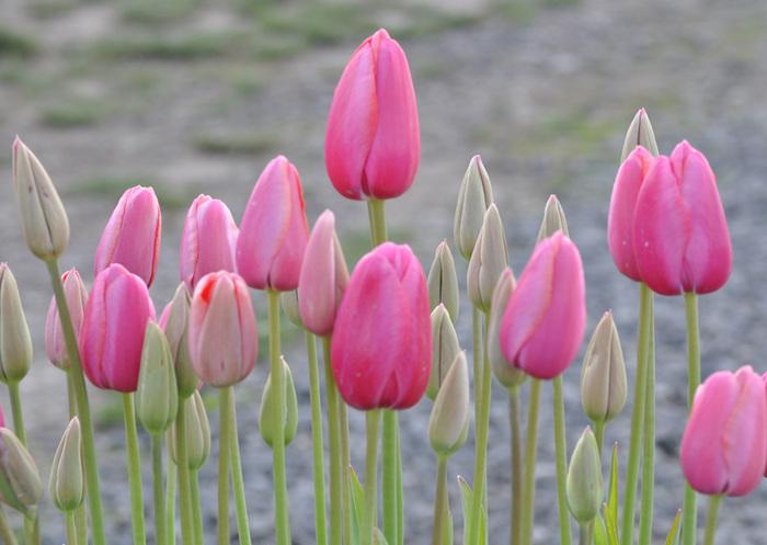 симфония тюльпанов 98909
