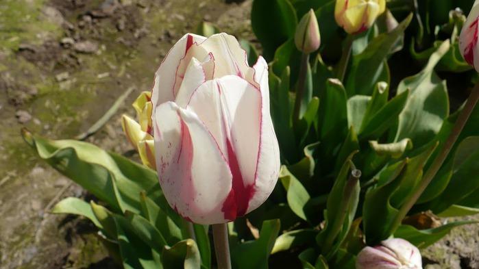 симфония тюльпанов 87544
