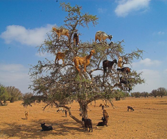 козы на дереве3 (700x581, 301Kb)