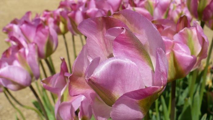 симфония тюльпанов 98574