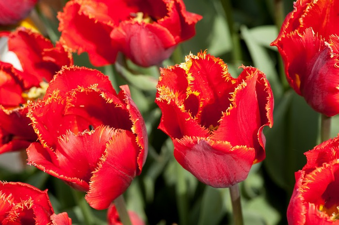 симфония тюльпанов 35717
