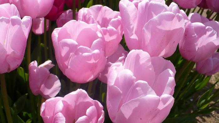 симфония тюльпанов 90311