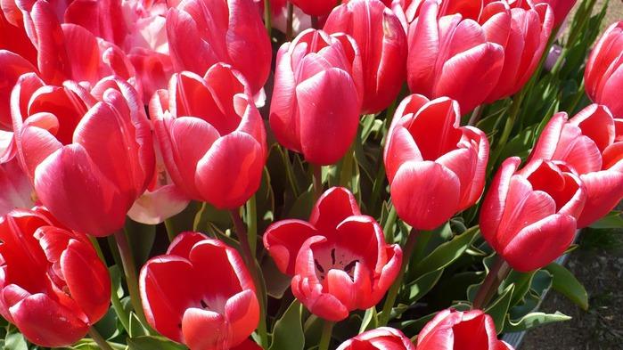 симфония тюльпанов 46123