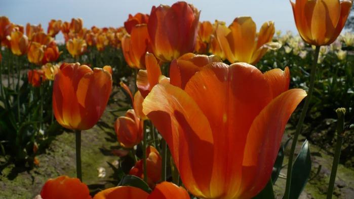 симфония тюльпанов 90806