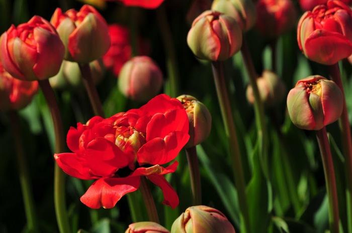 симфония тюльпанов 63962