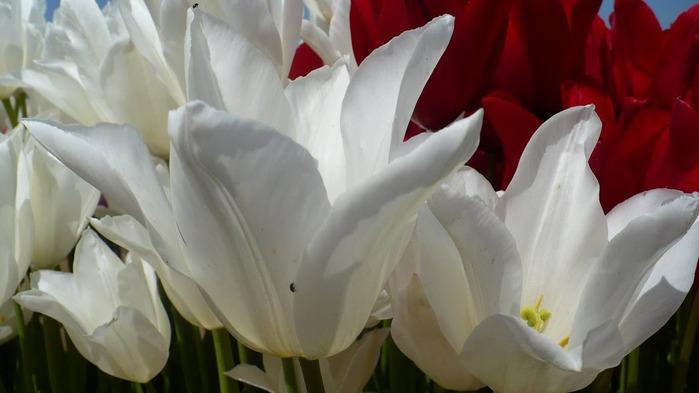 симфония тюльпанов 44925