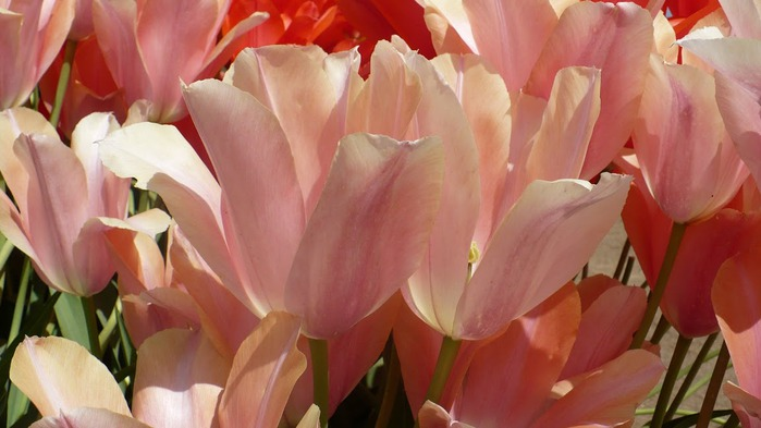 симфония тюльпанов 88435