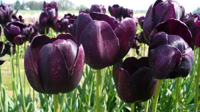 симфония тюльпанов 61977