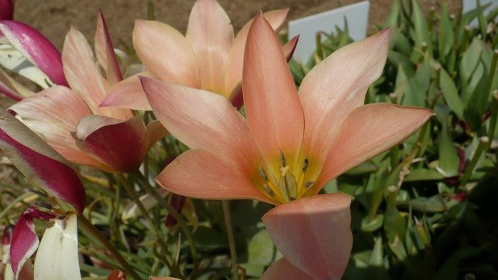 симфония тюльпанов 22030