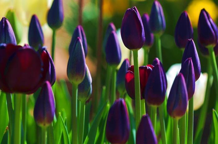 симфония тюльпанов 82146