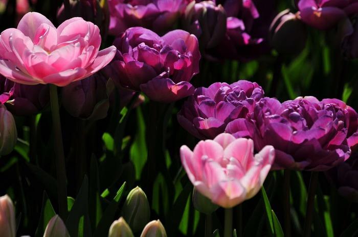 симфония тюльпанов 77338