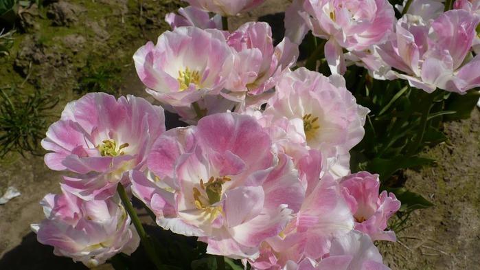 симфония тюльпанов 62003