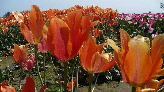симфония тюльпанов 60386