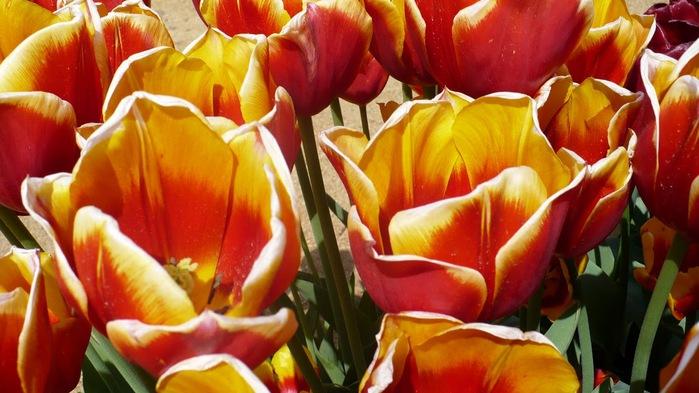 симфония тюльпанов 17223