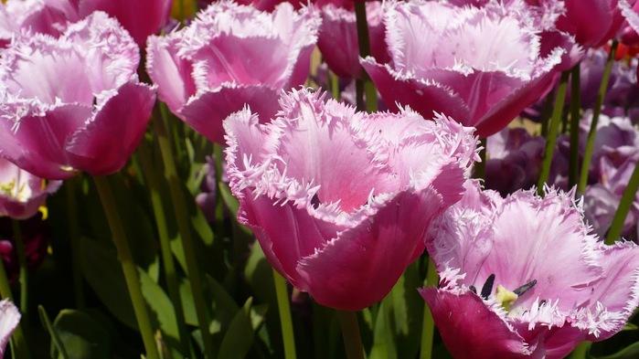 симфония тюльпанов 54602