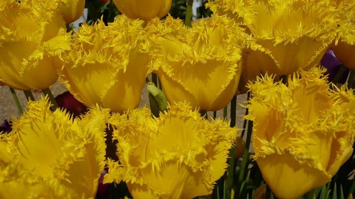 симфония тюльпанов 60516