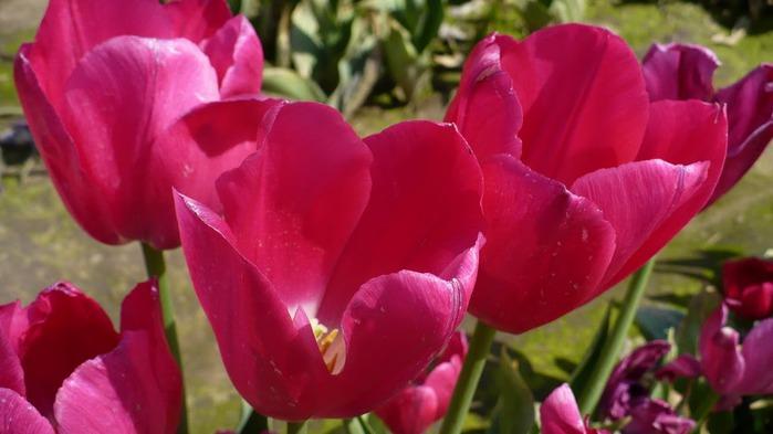 симфония тюльпанов 67910