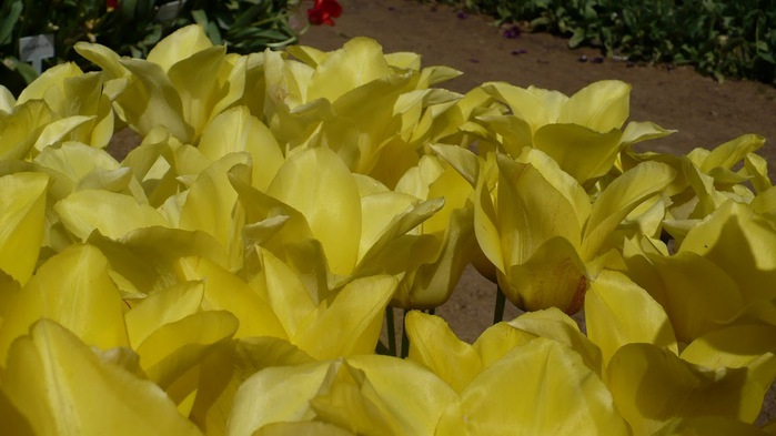 симфония тюльпанов 32004