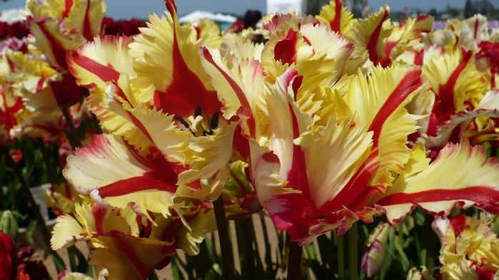 симфония тюльпанов 20724