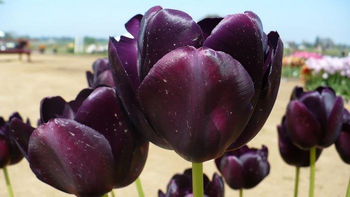 симфония тюльпанов 35160
