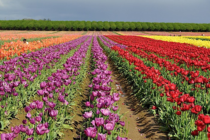 симфония тюльпанов 45270
