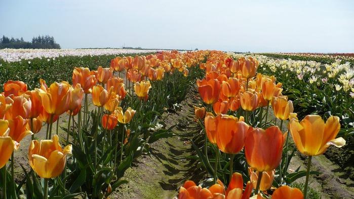 симфония тюльпанов 42289