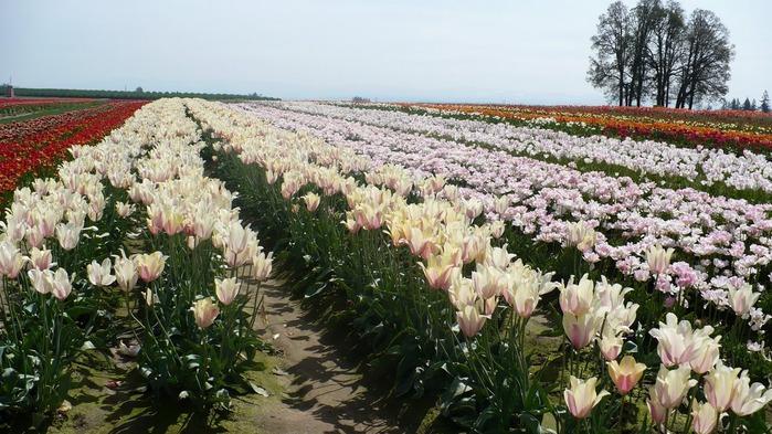 симфония тюльпанов 89841