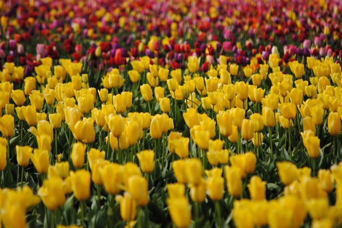 симфония тюльпанов 50678
