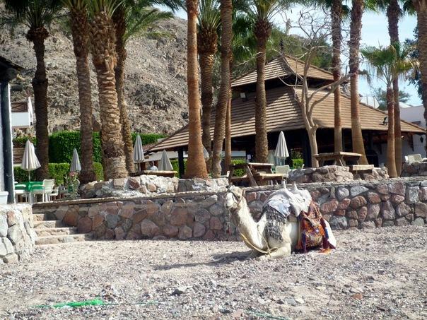 Верблюд_на_пляже,_Таба,_Египет (604x453, 154Kb)