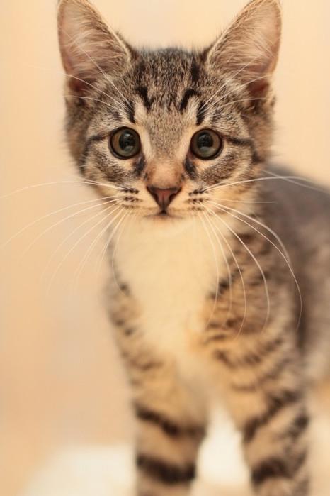 Полосатые коты картинки