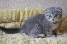 вислоухих котят (233x155, 7Kb)