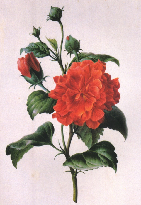 Redoute 1749-1840, Pierre-Joseph, France Red rose study (481x700, 368Kb)