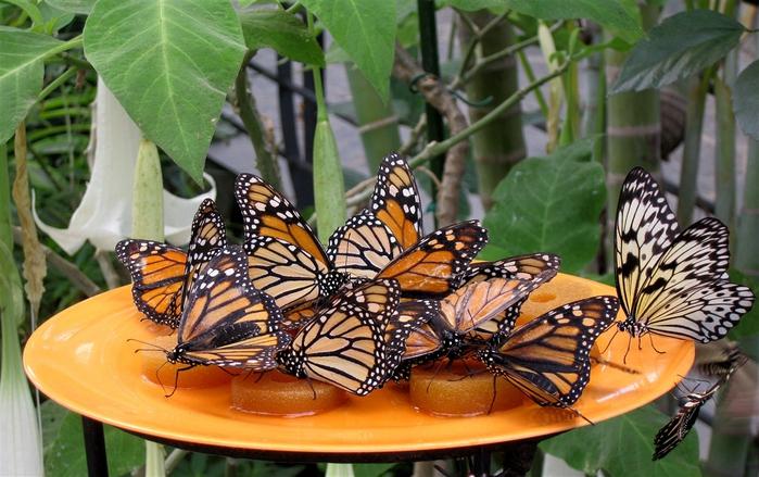 бабочки (700x439, 213Kb)