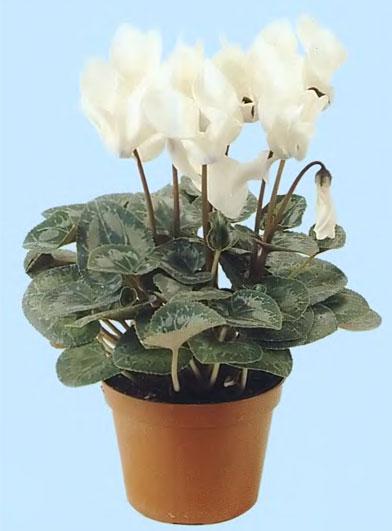 можно выращивать в горшках диаметром 5-7 см. Среди гибридов цикламена персидского (Cyclamen persiewn) .