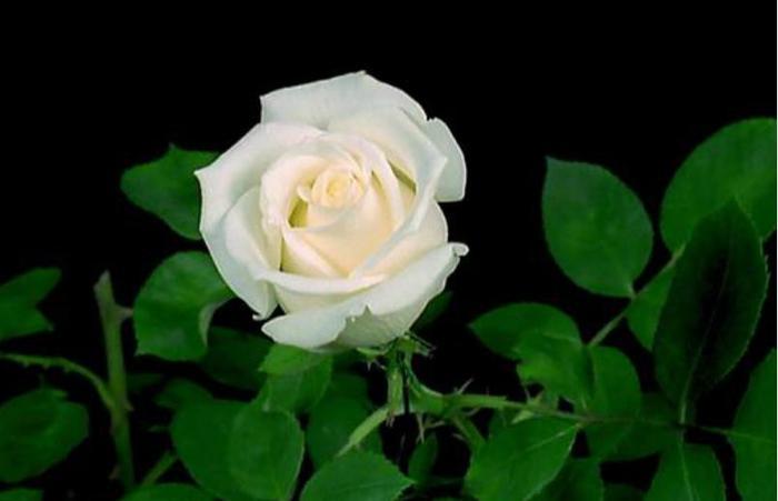 роза/2286902_Roze (700x451, 23Kb)