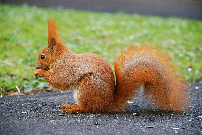 800px-Squirrel_by_mareckr (700x469, 51Kb)