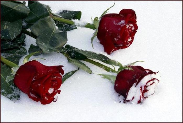 _roze-3 (700x473, 96Kb)