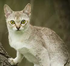 Сингапурская кошка (231x218, 7Kb)