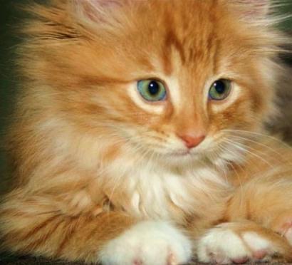 сибирский котенок рыжий (410x372, 38Kb)