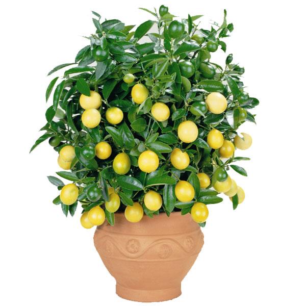 Лимон-на-подоконнике (600x600, 72Kb)
