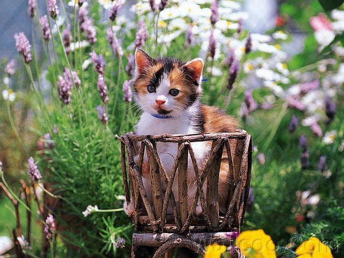 2795685_Kitten_in_garden_kitten_MIL56037 (700x525, 93Kb)