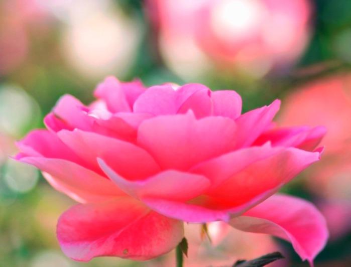 8 Оч нежная роз (700x532, 55Kb)