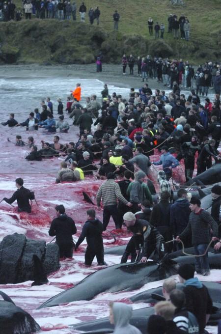 whale-slaughter-in-faroe-islands2-450x680 (450x680, 101Kb)